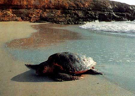 carettacaretta che depone le uova alle isole pelagie