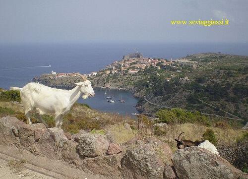 una capra a Capraia